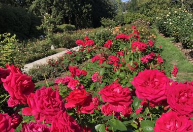 Red roses Portland garden